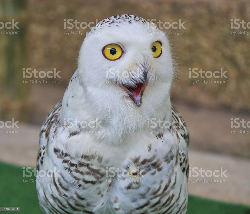 portrait of a beautiful snow owl stock photo