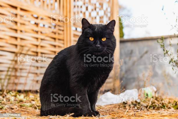 Portrait of a beautiful street black cat with orange eyes picture id1072980406?b=1&k=6&m=1072980406&s=612x612&h=0qg1wv2wo a0w1zvdj6wu 6jjamiz2crfnvcbkfbhjq=