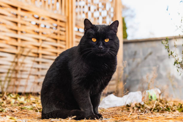 Portrait of a beautiful street black cat with orange eyes picture id1072980406?b=1&k=6&m=1072980406&s=612x612&w=0&h=em4cqqb6blp4jojaqlxxgwnxjriepgyyv6zzbcbqffy=