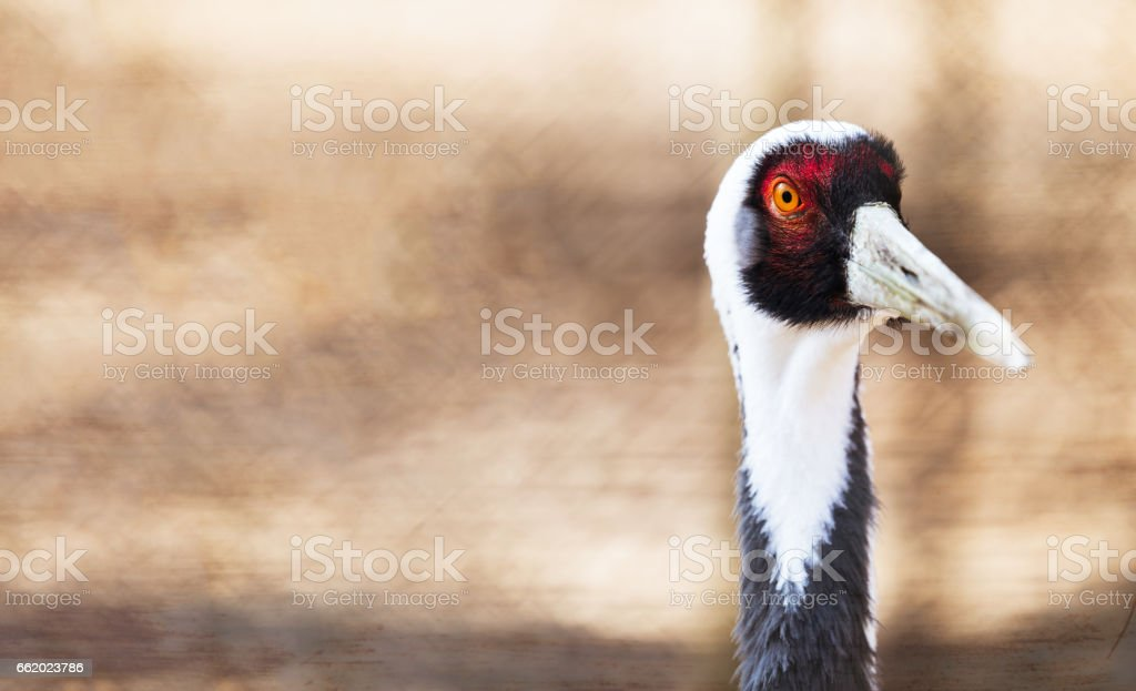 Portrait of a beautiful white neck crane in nature royalty-free stock photo