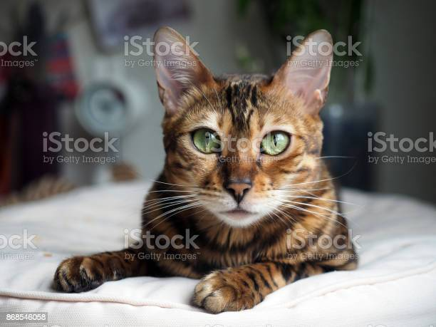 Portrait of a bengal cat that rests on a pillow picture id868546058?b=1&k=6&m=868546058&s=612x612&h=uqafyv9ubikhtbxgufio1tkj o4 mwspoduuynh mw4=