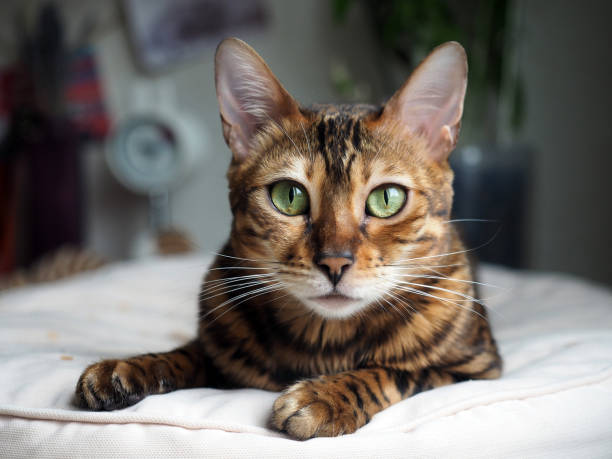 Portrait of a bengal cat that rests on a pillow picture id868546058?b=1&k=6&m=868546058&s=612x612&w=0&h=4hdqvxbjcwody5mcyjirzs4iishzd a564eguhi5ovk=