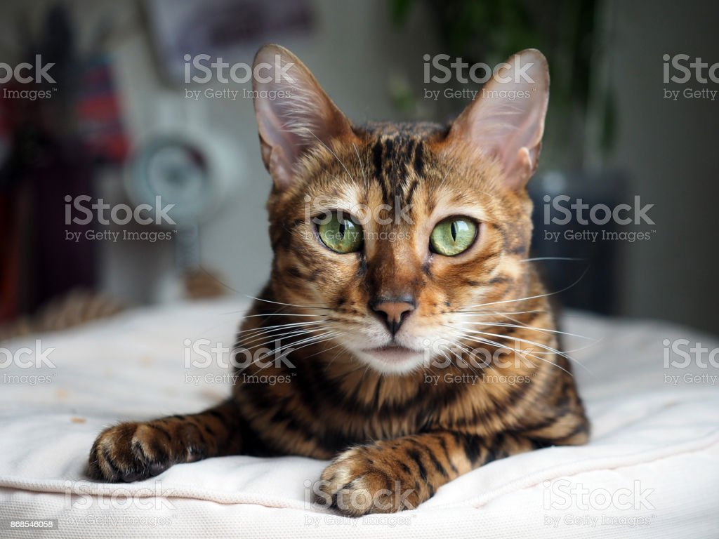 Portrait of a Bengal cat that rests on a pillow stock photo
