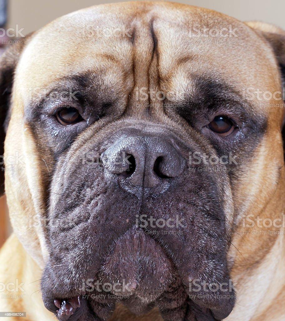 Portrait of a big dog stock photo
