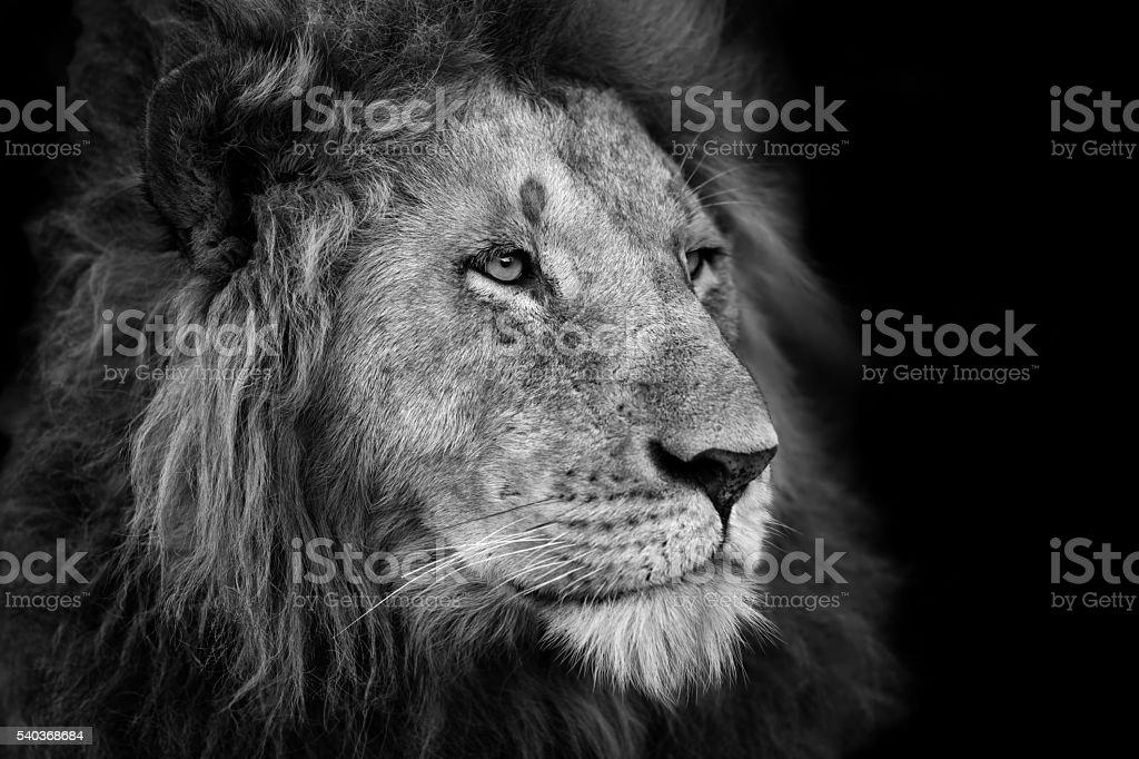Portrait of a big Lion in Masai Mara, Kenya stock photo