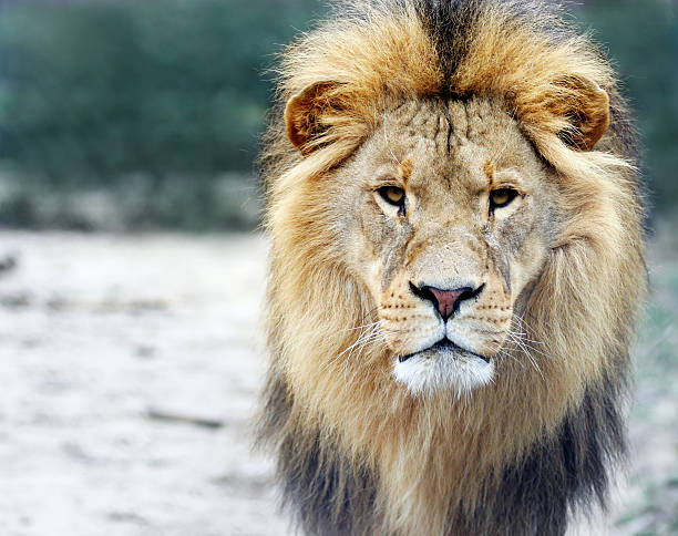 portrait of a big male lion - lion stock photos and pictures