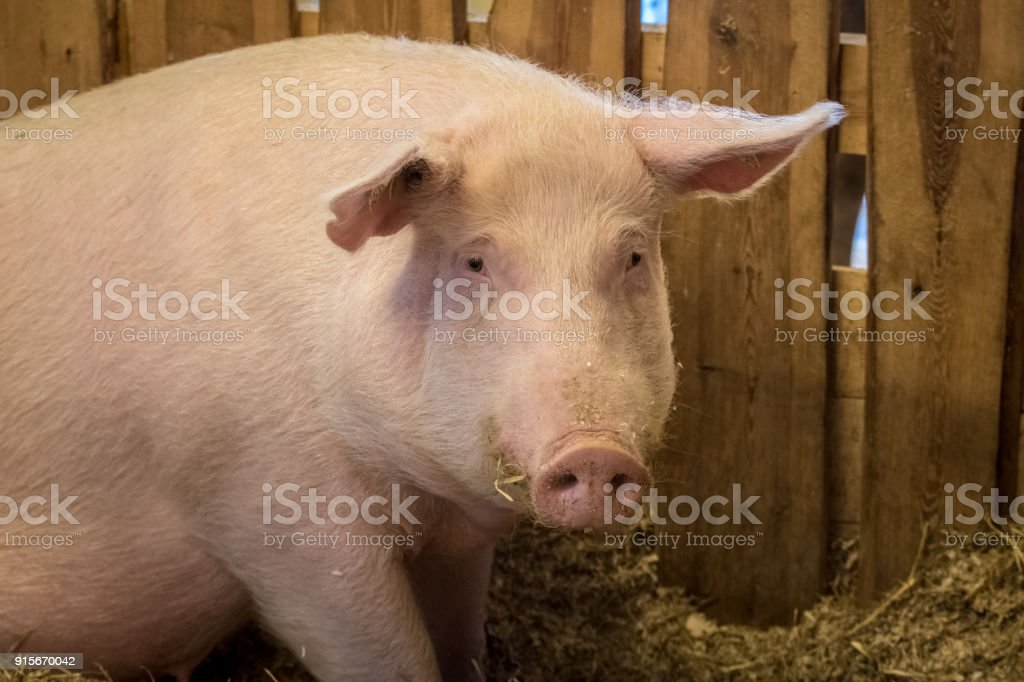 Portrait of a big pink female domestic pig on a farm stock photo