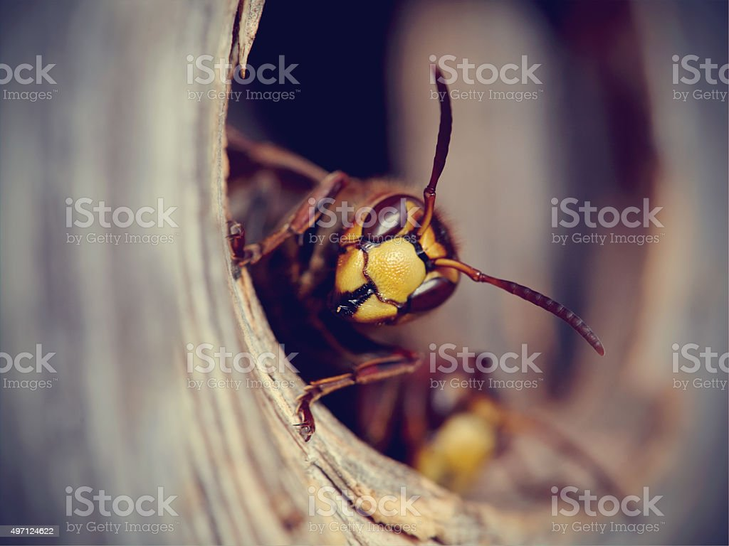 Portrait of a big wasp - a hornet stock photo