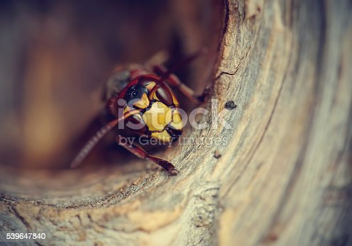 972704120 istock photo Portrait of a big wasp - a hornet 539647840