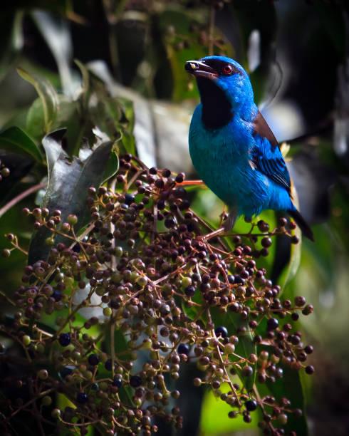Porträt eines Vogels - blau Dacnis – Foto