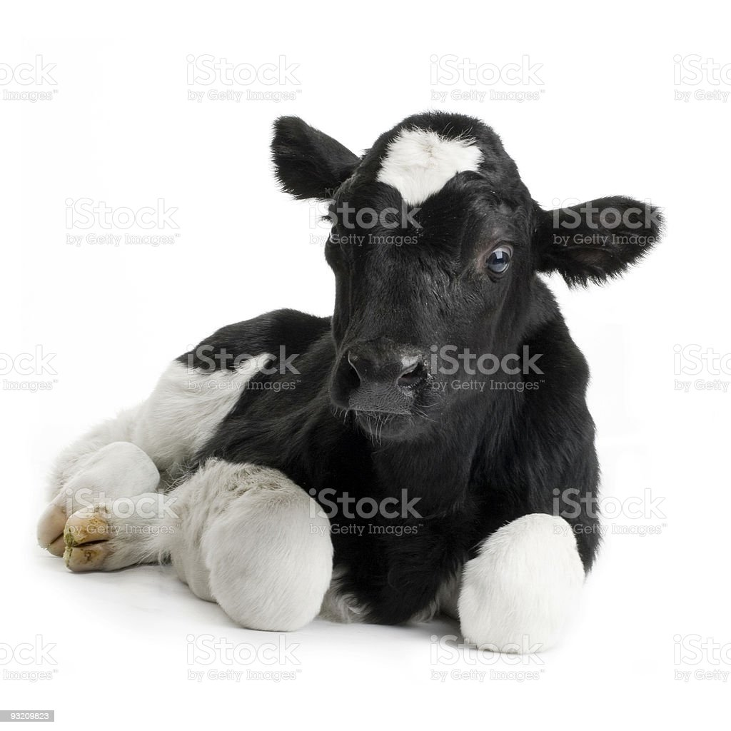 Portrait of a black and white calf stock photo
