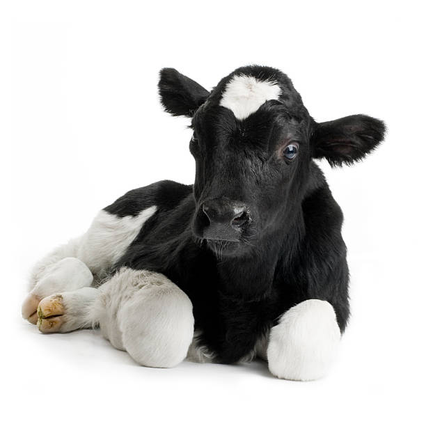 Portrait of a black and white calf calf in front of a white background. calf stock pictures, royalty-free photos & images