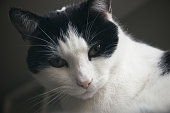 Portrait of a black and white cat, close up