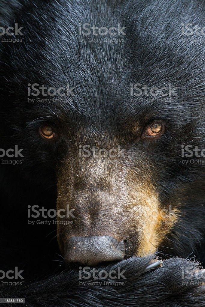 Portrait of a Black Bear stock photo