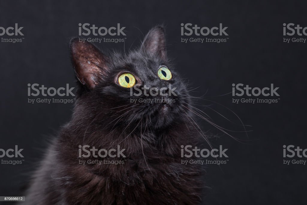 Portrait of a black cat looking up on a dark background, acting curious and focused. stock photo