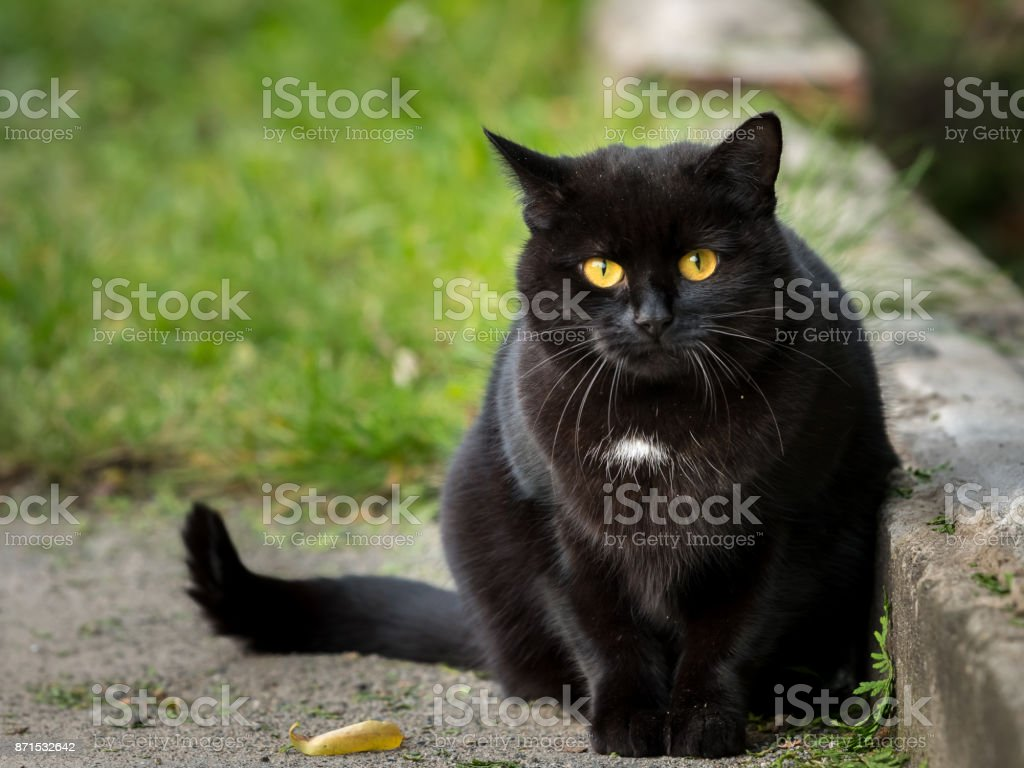 Portrait of a black cat with a white spot stock photo