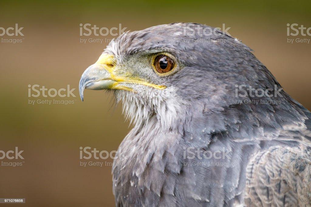 Retrato de uma águia negra Chested Buzzard olhando à esquerda - foto de acervo
