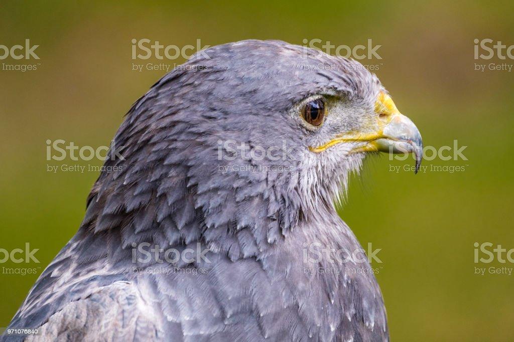 Retrato de uma águia negra Chested Buzzard olhando diretamente - foto de acervo