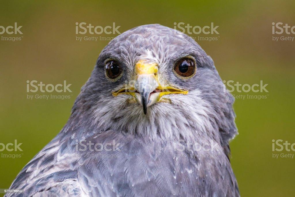 Retrato de uma águia negra Chested Buzzard olhando para a frente - foto de acervo