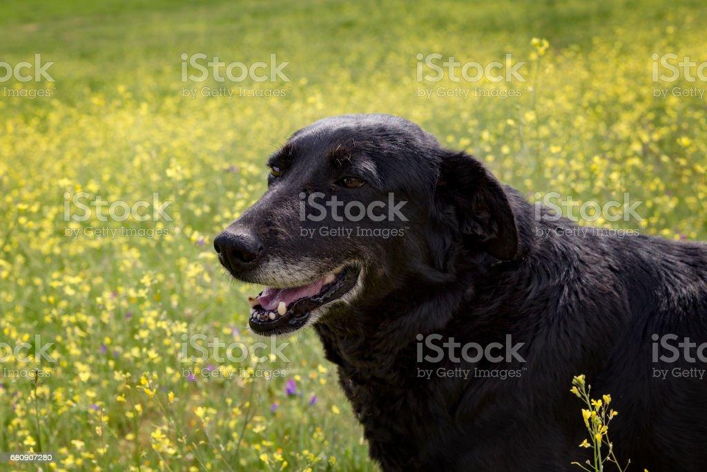 Portrait of a black dog royalty-free stock photo
