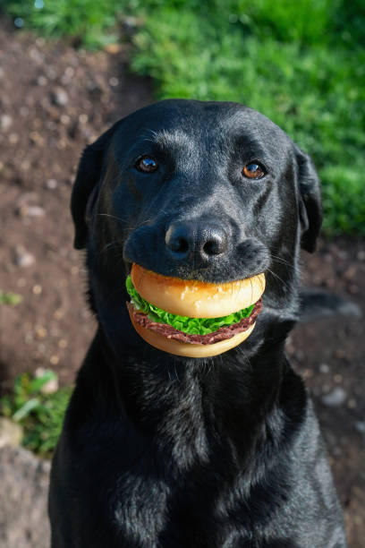 Portrait of a black dog with sandwich in mouth picture id1184096182?b=1&k=6&m=1184096182&s=612x612&w=0&h=dafnctiqufviwz4opwjj8xenmzmayivlpemrmal51jm=