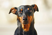 Portrait of a black German Pinscher dog with natural ears