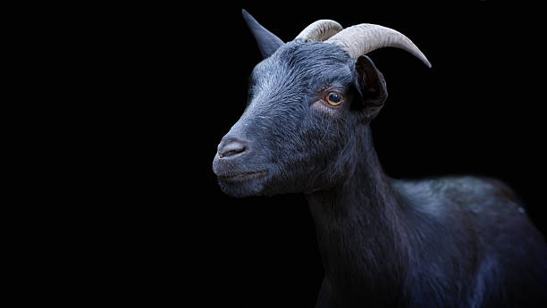 Portrait of a black goat on a black background. stock photo