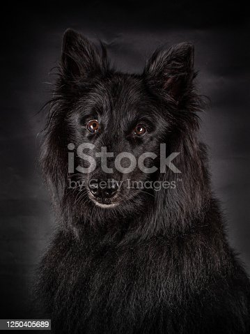 Portrait of a black Groenendael dog with  great brown eyes looking into the camera, isoladed on a black background