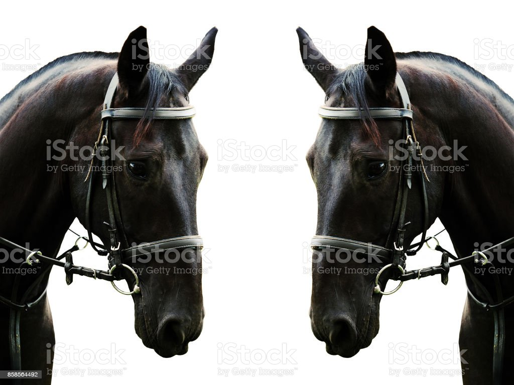 Portrait of a black horse isolated and mirrored horizontally on a white background. Beautiful sport horse in black bridle stock photo