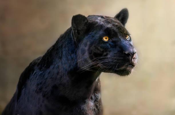 porträtt av en svart jaguar - svart leopard bildbanksfoton och bilder
