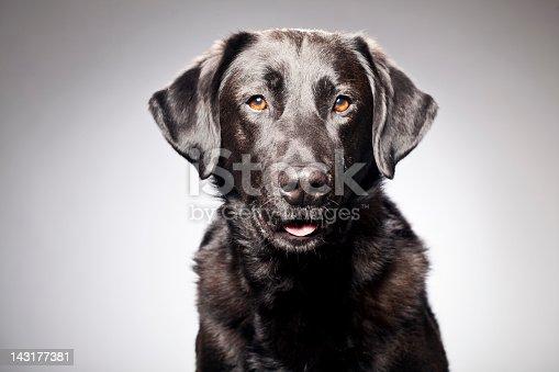 Portrait of a black labrador [url=http://www.istockphoto.com/search/lightbox/12120567][img]http://bit.ly/16Cq4VM[/img][/url] [url=http://www.istockphoto.com/search/portfolio/454906][img]http://bit.ly/18OpGAk[/img][/url]
