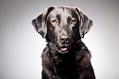 Portrait of a black labrador\n[url=http://www.istockphoto.com/search/lightbox/12120567][img]http://bit.ly/16Cq4VM[/img][/url]\n[url=http://www.istockphoto.com/search/portfolio/454906][img]http://bit.ly/18OpGAk[/img][/url]