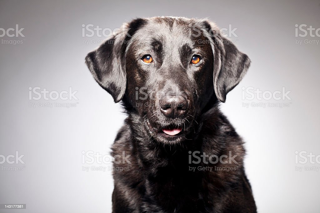 Portrait of a Black Labrador stock photo