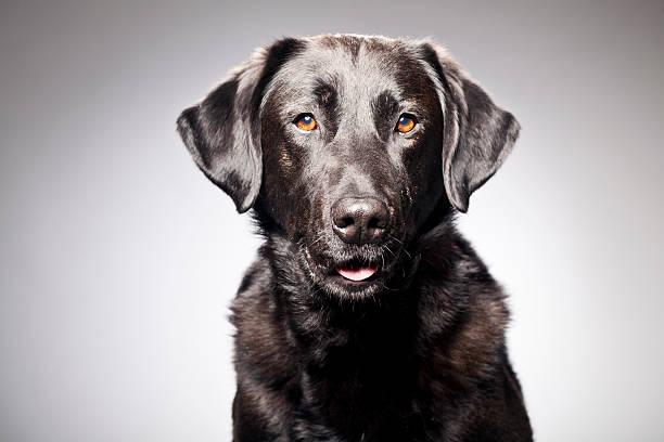 Portrait of a Black Labrador stock photo