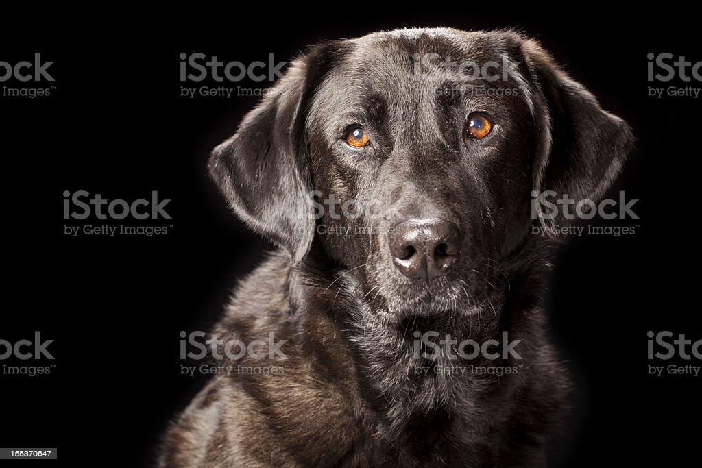 Portrait of a Black Labrador royalty-free stock photo