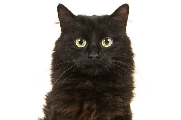 Portrait of a black long haired cat facing the camera isolated on a white background Cat portrait of a black long haired cat facing the camera isolated on a white background black cat stock pictures, royalty-free photos & images