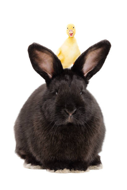 Portrait of a black rabbit with a duckling on his head - foto stock