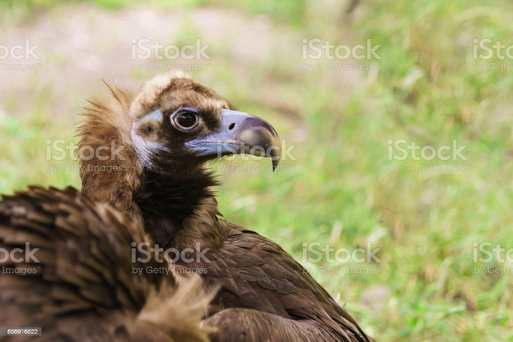 Portrait of a black vulture or the brown vulture (Aegypius monachus) is a bird of the hawk family stock photo