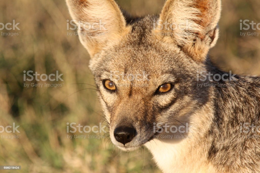 Portrait Of A Blackbacked Jackal Stock Photo More Pictures Of