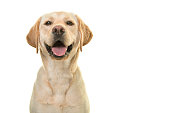 Portrait of a blond labrador retriever dog looking at the camera with a big happy smile isolated on a white background