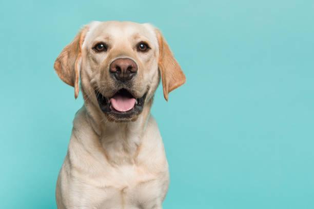 ritratto di un cane labrador retriever biondo che guarda la fotocamera con la bocca aperta vista dalla parte anteriore su uno sfondo turchese blu - retriever foto e immagini stock