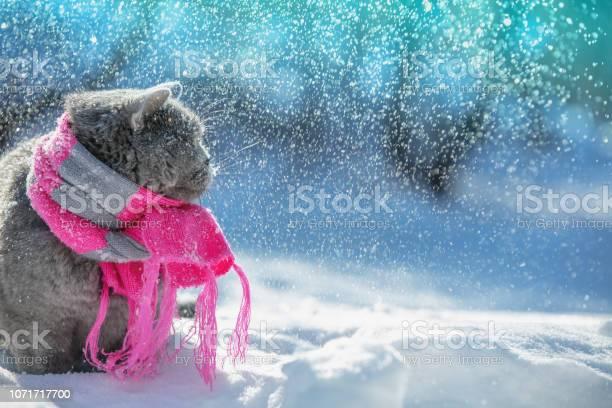 Portrait of a blue british shorthair cat wearing the knitted scarf picture id1071717700?b=1&k=6&m=1071717700&s=612x612&h=r2n8kcwvwmrjel0edheojv8umbv3yszdt8tb0zi05ci=