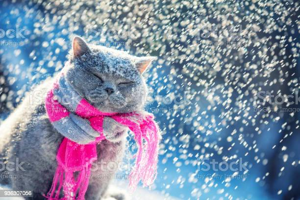 Portrait of a blue british shorthair cat wearing the knitted scarf picture id936307056?b=1&k=6&m=936307056&s=612x612&h=90 lyccc jgbfys4 ja3pe34fsd9mwk9tpacayv4ntq=