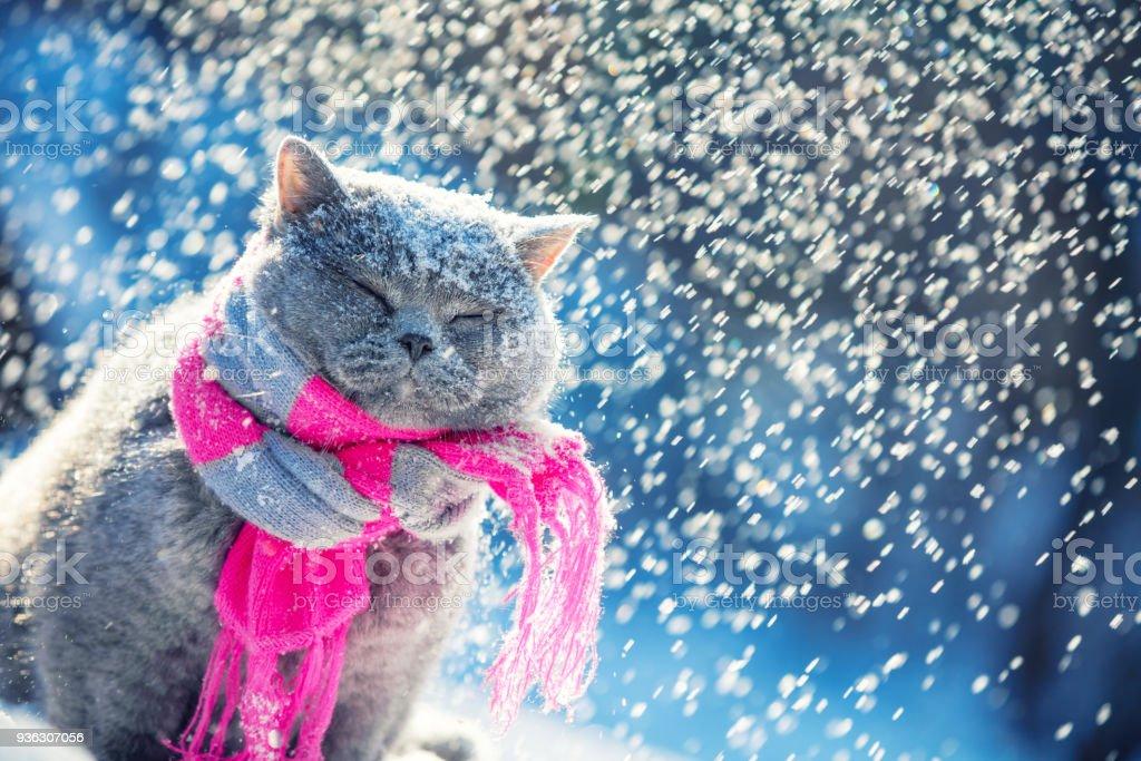 Porträt einer blauen Britisch Kurzhaar Katze, trägt den gestrickten Schal. Katze sitzt draußen im Schnee im Winter bei Schneefall – Foto