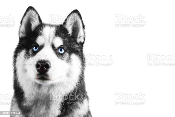 Portrait of a blue eyed beautiful serious siberian husky dog with his picture id1088623304?b=1&k=6&m=1088623304&s=612x612&h=gzrdoqllpbkdtzs3jhldflsp6xxwodnetd8qpnivyj0=