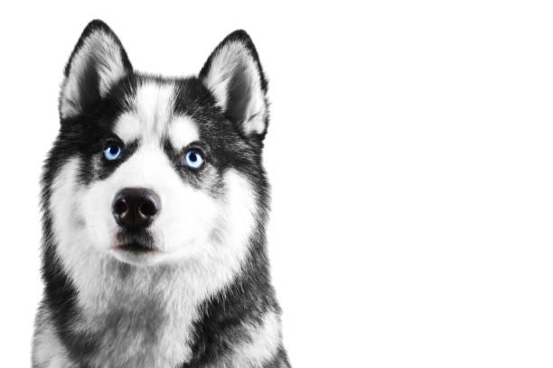 Portrait of a blue eyed beautiful serious siberian husky dog with his picture id1088623304?b=1&k=6&m=1088623304&s=612x612&w=0&h=mmlnf2nnqv3bsid xqlabayjwo3avhmrir6wxpuhpr4=