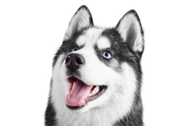 Porträt eines blauen Augen schönen Lächeln Siberian Husky Hund mit Zunge heraus isoliert auf weißem Hintergrund – Foto
