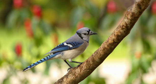 Portrait of a blue jay stock photo