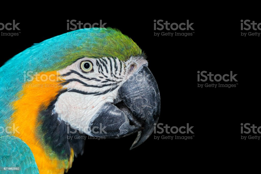 Portrait of a Blue-and-yellow Macaw on black stock photo