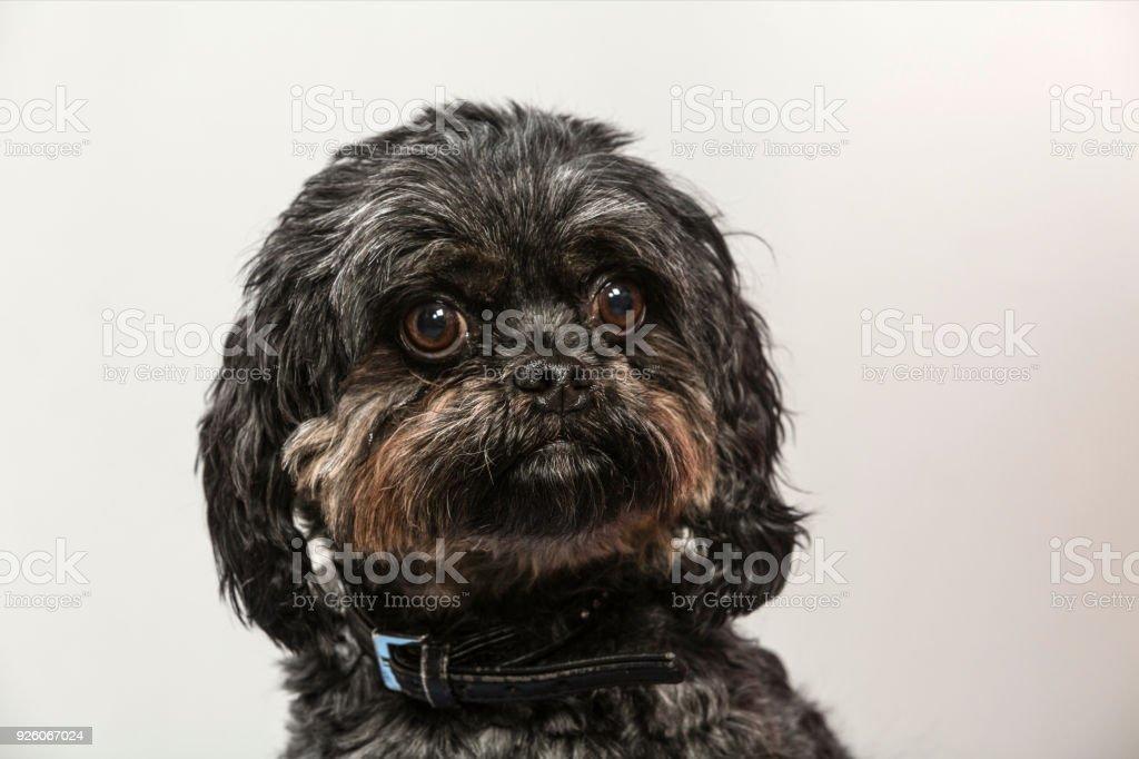 Portrait of a Bolonka Zwetna stock photo